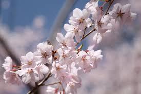 新宿観光案内所開業式典 及び タカトオコヒガンザクラ植樹記念式典のご案内