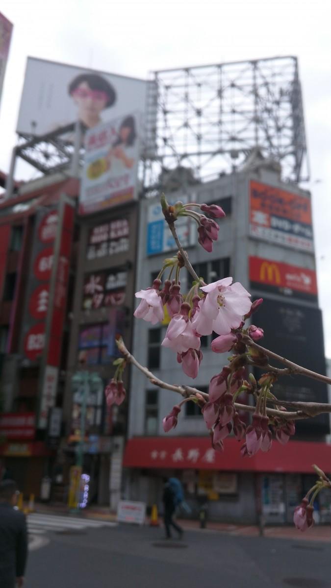 新宿駅東南口広場のタカトウコヒガンザクラが開花しました。